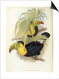 Short-Billed Toucan Print by John Gould