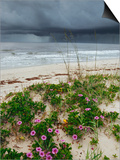 Railroad Vine (Ipomoea Pes-Caprae) and Sea Oats (Uniola Paniculata) Growing Along Beach, Florida Prints by Marc Epstein