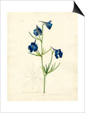 Delphinium grandiflorum var. chinensis Prints by John Curtis
