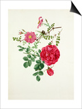 Rosa multibracteata, Rosa Cerise Bouquet Prints by Graham Stuart Thomas