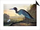 Audubon: Little Blue Heron Print by John James Audubon