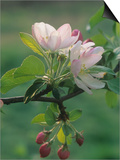 Crabapple Blossoms and Flower Buds, Malus Prints by Adam Jones