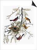 Audubon: Oriole Prints by John James Audubon