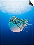 Chambered Nautilus (Nautilus Pompilius), Great Barrier Reef, Australia Prints by Reinhard Dirscherl