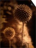 Sepia Dandelions Print by Robert Cattan