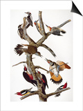 Audubon: Woodpeckers Posters by John James Audubon