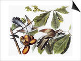 Yellow-Billed Cuckoo Poster by John James Audubon