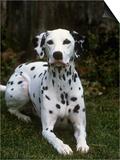 Dalmatian Variety of Domestic Dog Prints by Cheryl Ertelt