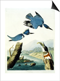 Belted Kingfisher Prints by John James Audubon