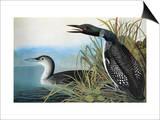 Audubon: Common Loon Posters by John James Audubon