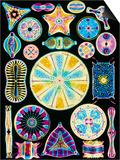Art of Diatom Algae (from Ernst Haeckel) Poster