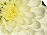 Close-Up of a White Chrysanthemum Flower Posters by Adam Jones