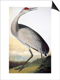 Audubon: Sandhill Crane Prints by John James Audubon