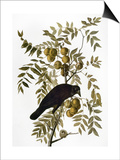 Audubon: Crow Art by John James Audubon