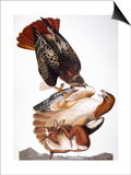 Audubon: Red-Tailed Hawk Posters by John James Audubon