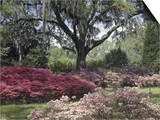 Orton Plantation Gardens, North Carolina, USA Prints