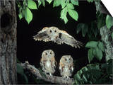 A Screech Owl in Flight, Otus Asio Prints by Joe McDonald