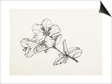 Rhododendron moupinense Prints by Graham Stuart Thomas
