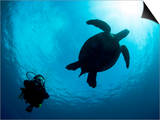 Hawksbill Turtle (Eretmochelys Imbricata) and Diver, Sulawesi, Indonesia, Southeast Asia, Asia Prints by Lisa Collins