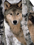 Gray Wolf, Canis Lupus, Staring from Behind the Trees, North America Print by Joe McDonald