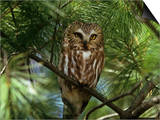 Northern Saw-Whet Owl (Aegolius Acadius) in a White Pine (Pinus Strobus), North America Art by Steve Maslowski