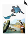 Audubon: Kingfisher Posters by John James Audubon