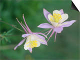 Blue Columbine, Aquilegia Corerulea, Colorado State Flower, Gunnison National Forest, USA Posters by Adam Jones