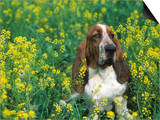 Basset Hound Sitting in a Field of Wild Mustard Prints by David Cavagnaro