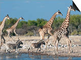 Giraffe (Giraffa Camelopardis) and Zebras (Equus Burchelli), Etosha Nat'l Park, Namibia Prints by Kim Walker