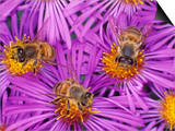Honey Bees, Apis Mellifera, Pollinating New England Aster Flowers Posters by Bill Beatty
