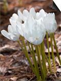 Colchicum speciosum Album Posters by Carol Sheppard