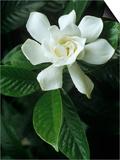 Gardenia or Cape Jasmine Flower (Gardenia Jasminoides) Posters by David Sieren