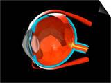 Eye Anatomy Prints by Jose Antonio