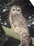 Spotted Owl (Strix Occidentalis), a Near Threatened Species, Western North America Prints by Ron Spomer