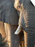 Close Up of Partial Face, African Elephant (Loxodonta Africana), Etosha National Park, Namibia Posters by Kim Walker