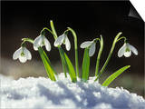 Snowdrop Flowers Blooming in the Snow, Galanthus Nivalis Art by David Cavagnaro