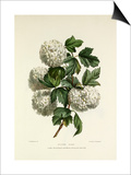Gelder Rose Poster by Charles Joseph Hullmandel