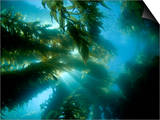 Sunlight Streaming Through a Forest of Giant Kelp (Macrocystis Pyrifera) Off Catalina Island Prints by David Fleetham
