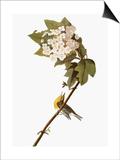 Audubon: Warbler, 1827-38 Posters by John James Audubon