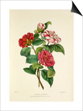 Camellia japonica Prints by Charles Joseph Hullmandel