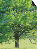 Bur Oak, Quercus Macrocarpa, Eastern North America Prints by Adam Jones
