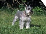 Miniature Schnauzer Variety of Domestic Dog Posters by Cheryl Ertelt
