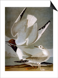 Audubon: Gull Posters by John James Audubon