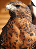 Harris Hawk (Parabuteo Unicinctus), Breeds in Southern USA, Chile and Argentina, Captivity in UK Prints by Raj Kamal