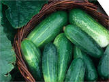 Cucumber Harvest in a Basket, Fancipak Variety (Cucumis Sativus) Posters by David Cavagnaro