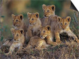 Six African Lion Cubs, Panthera Leo, Watching and Waiting for Mom to Return, Kenya Prints by Joe McDonald