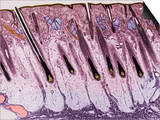 Cross-Section of the Skin on the Human Scalp Posters by Donald Fawcett