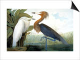 Reddish Egret, Print by John James Audubon