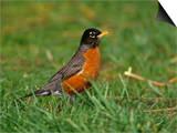 American Robin, Turdus Migratorius, North America Poster by Arthur Morris