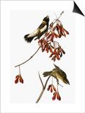 Audubon: Bobolink Posters by John James Audubon